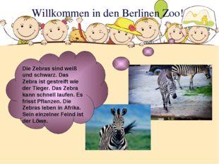 Willkommen in den Berlinen Zoo! Die Zebras sind weiß und schwarz. Das Zebra i