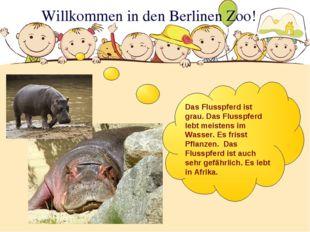 Willkommen in den Berlinen Zoo! Das Flusspferd ist grau. Das Flusspferd lebt