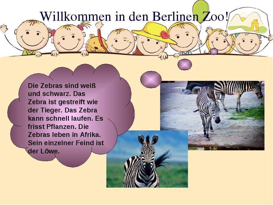 Willkommen in den Berlinen Zoo! Die Zebras sind weiß und schwarz. Das Zebra i...