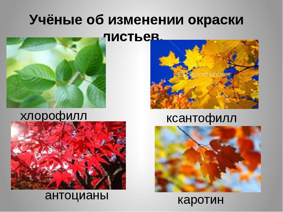 Учёные об изменении окраски листьев. хлорофилл ксантофилл антоцианы каротин