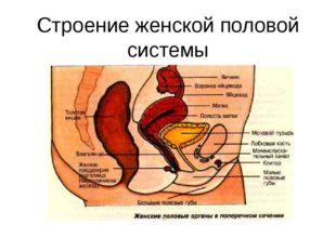 Строение женской половой системы