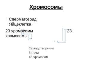 Хромосомы Сперматозоид Яйцеклетка 23 хромосомы 23 хромосомы Оплодотворение Зи