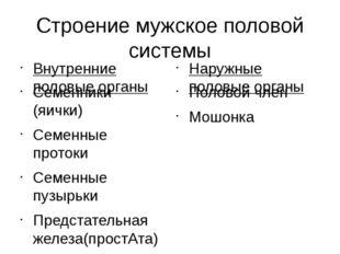 Строение мужское половой системы Внутренние половые органы Семенники (яички)