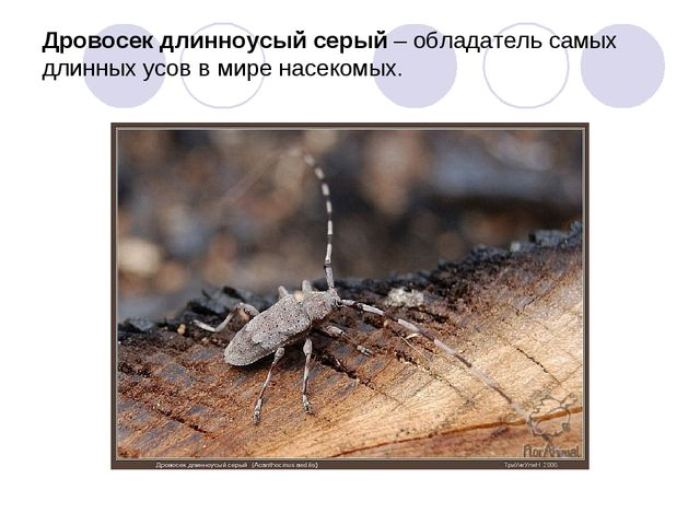 Дровосек длинноусый серый – обладатель самых длинных усов в мире насекомых.