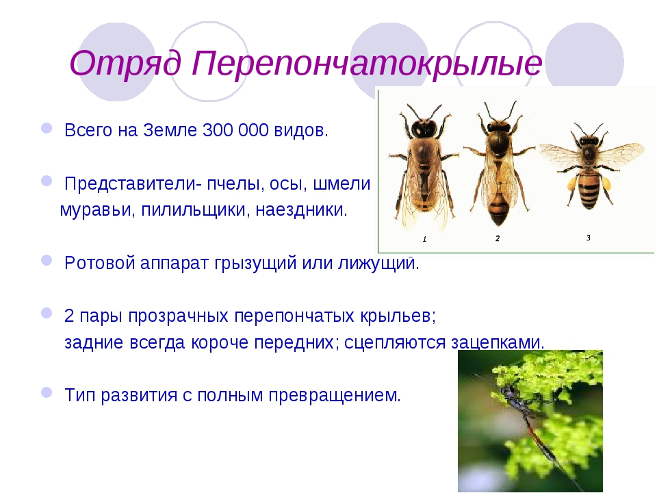 Отряд Перепончатокрылые Всего на Земле 300 000 видов. Представители- пчелы,...