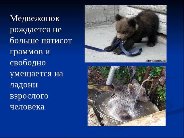 Медвежонок рождается не больше пятисот граммов и свободно умещается на ладони...