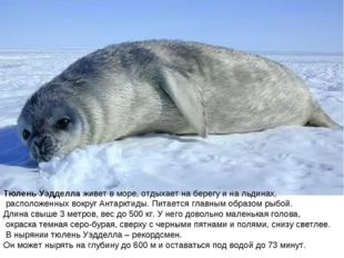 Тюлень Уэдделла живет в море, отдыхает на берегу и на льдинах, расположенных