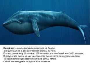 Синий кит – самое большое животное на Земле, Его длина 35 м, а вес составляет