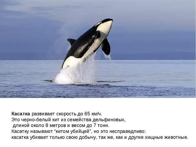 Касатка развивает скорость до 65 км/ч. Это черно-белый кит из семейства дельф...