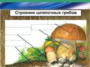 Ножка Плодовое тело Мицелий Шляпка