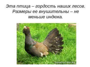 Эта птица – гордость наших лесов. Размеры ее внушительны – не меньше индюка.