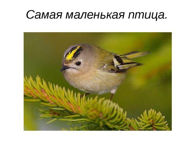 Самая маленькая птица.