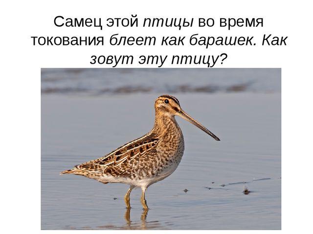 Самец этой птицы во время токования блеет как барашек. Как зовут эту птицу?