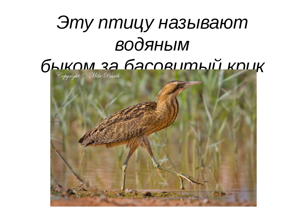 Эту птицу называют водяным быком за басовитый крик «бу-бу-бу».