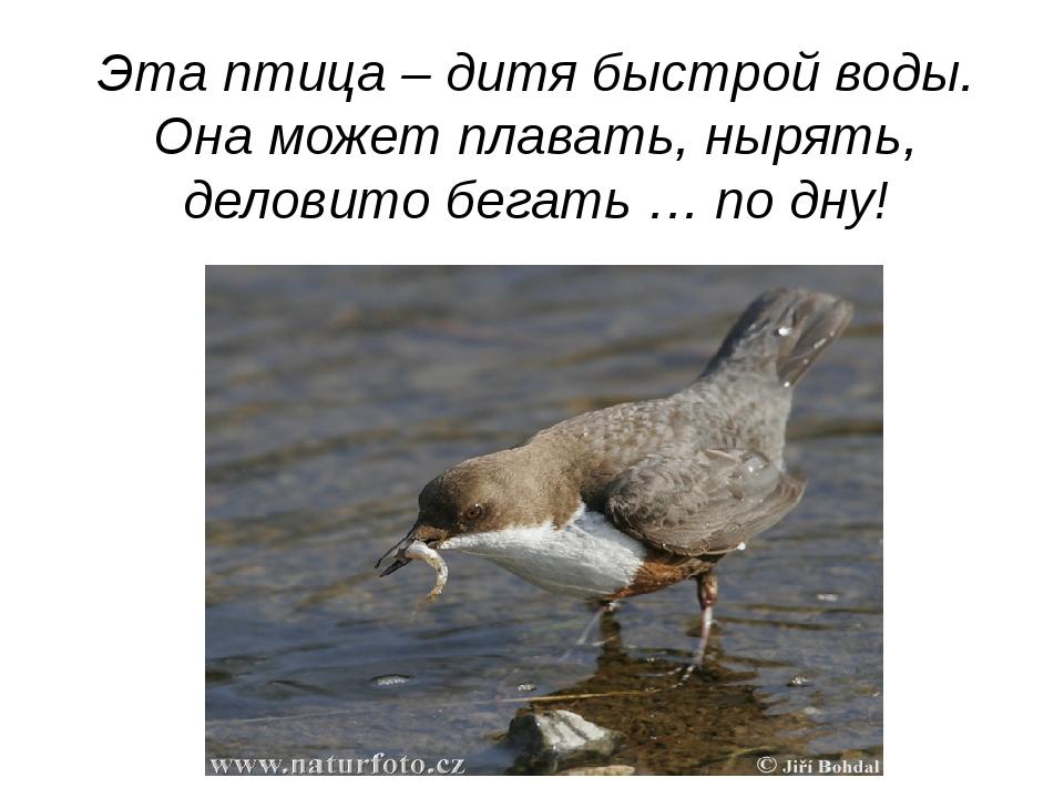 Эта птица – дитя быстрой воды. Она может плавать, нырять, деловито бегать … п...