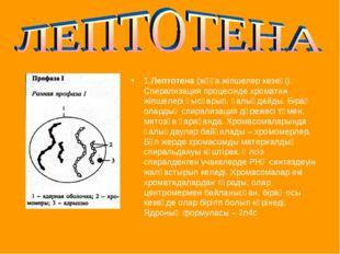 1.Лептотена (жұқа жіпшелер кезеңі). Спирализация процесінде хроматин жіпшелер