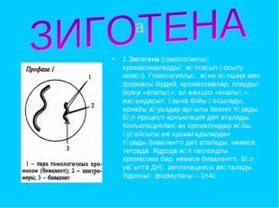 a 2.Зиготена (гомологиялық хромасомалардың жұптасып қосылу кезеңі). Гомология