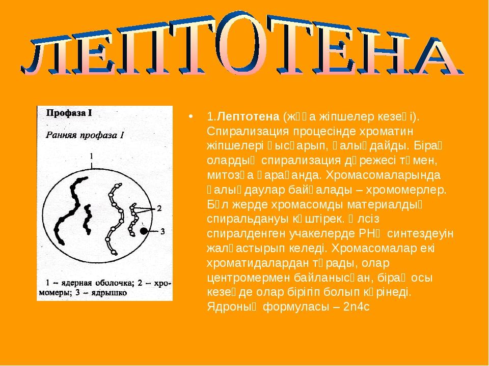 1.Лептотена (жұқа жіпшелер кезеңі). Спирализация процесінде хроматин жіпшелер...