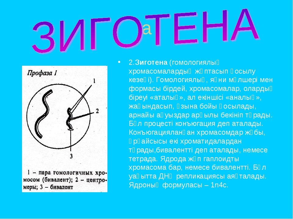 a 2.Зиготена (гомологиялық хромасомалардың жұптасып қосылу кезеңі). Гомология...