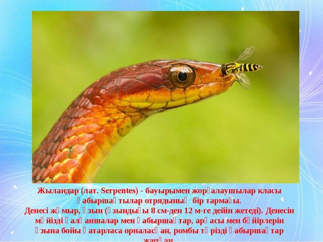 Жыландар (лат. Serpentes) - бауырымен жорғалаушылар класы қабыршақтылар отряд...