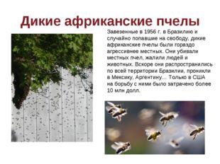 Дикие африканские пчелы Завезенные в 1956 г. в Бразилию и случайно попавшие н