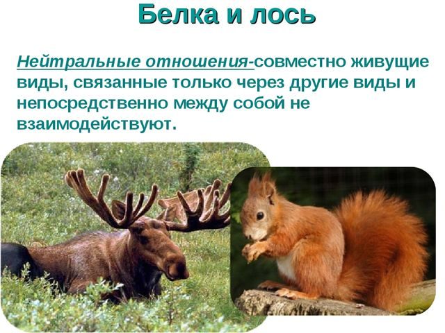 Белка и лось Нейтральные отношения-совместно живущие виды, связанные только ч...