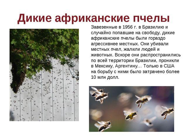 Дикие африканские пчелы Завезенные в 1956 г. в Бразилию и случайно попавшие н...