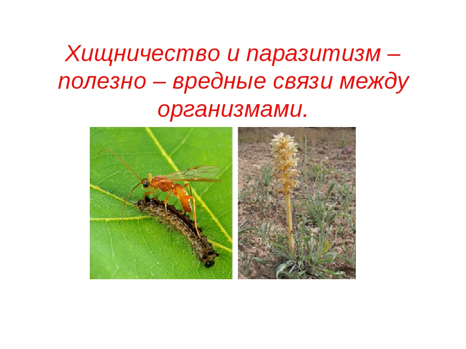 Хищничество и паразитизм – полезно – вредные связи между организмами.