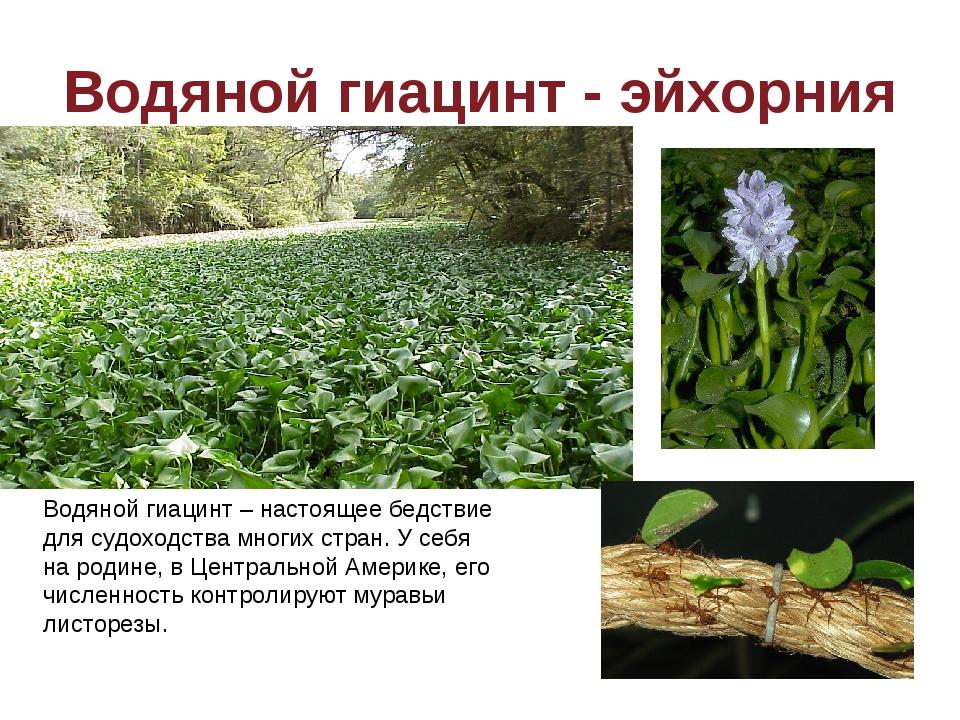 Водяной гиацинт - эйхорния Завезенных в Водяной гиацинт – настоящее бедствие...