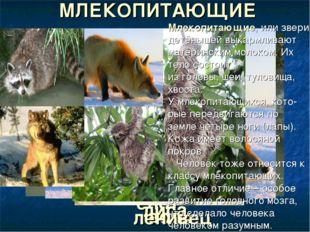 енот МЛЕКОПИТАЮЩИЕ лиса волк ленивец Млекопитающие, или звери, детёнышей выка