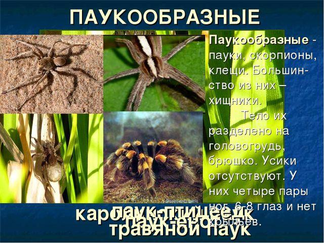 каролинский паук паук-птицеед паук-енот травяной паук ПАУКООБРАЗНЫЕ Паукообра...