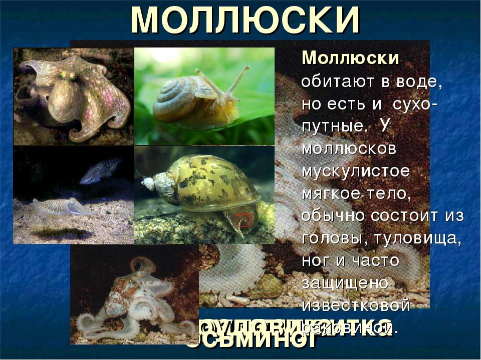 кальмар виноградная улитка каракатица прудовик осьминог Моллюски обитают в в...