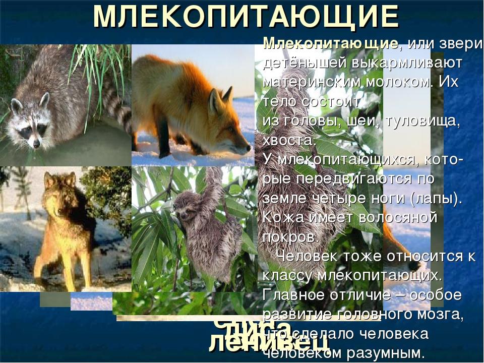 енот МЛЕКОПИТАЮЩИЕ лиса волк ленивец Млекопитающие, или звери, детёнышей выка...