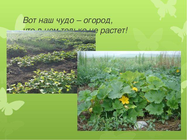 Вот наш чудо – огород, что в нем только не растет!