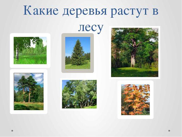 Какие деревья растут в лесу