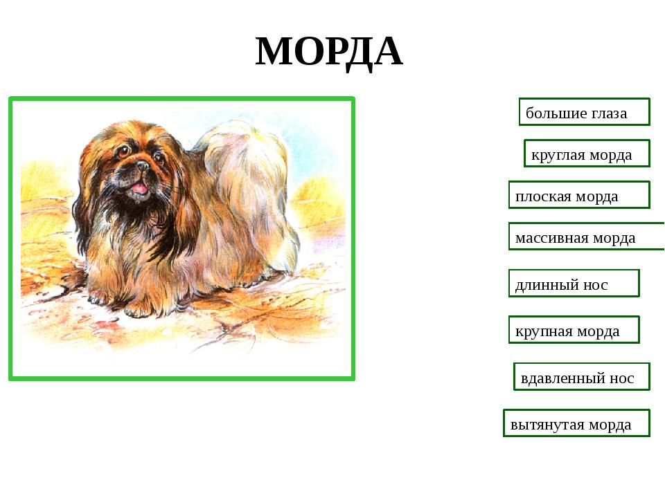 МОРДА большие глаза вдавленный нос длинный нос плоская морда массивная морда...