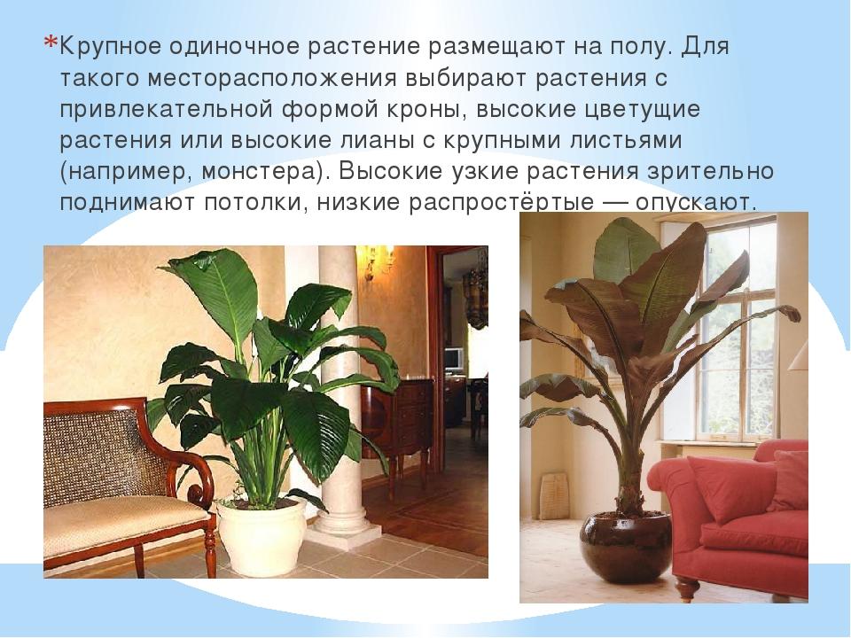 Крупное одиночное растение размещают на полу. Для такого месторасположения вы...