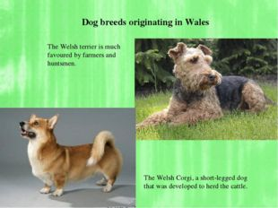 The Welsh terrier is much favoured by farmers and huntsmen. The Welsh Corgi,