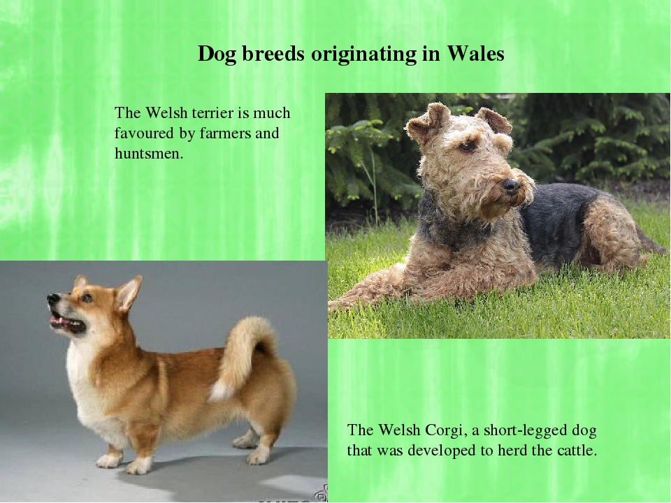 The Welsh terrier is much favoured by farmers and huntsmen. The Welsh Corgi,...
