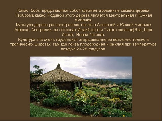 Какао- бобы представляют собой ферментированные семена дерева Теоброма какао....
