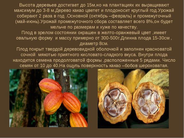 Высота деревьев достигает до 15м,но на плантациях их выращивают максимум до 3...