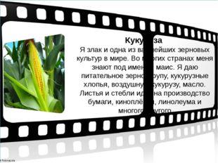 Кукуруза Я злак и одна из важнейших зерновых культур в мире. Во многих стран