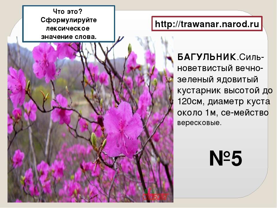 БАГУЛЬНИК.Силь-новетвистый вечно-зеленый ядовитый кустарник высотой до 120см,...