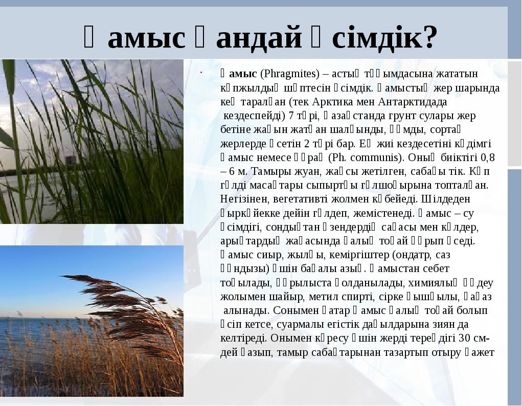 Қамыс қандай өсімдік? Қамыс(Phragmіtes) – астық тұқымдасына жататын көпжылды...