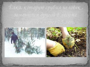 Ёлка, которую срубил человек , заменится другой в лесу не меньше, чем через