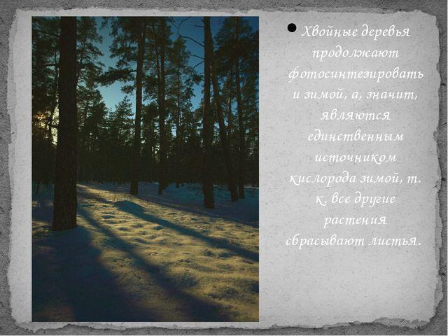 Хвойные деревья продолжают фотосинтезировать и зимой, а, значит, являются еди...