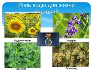 Роль воды для жизни растений Подсолнечник Люцерна Крапива Виноград
