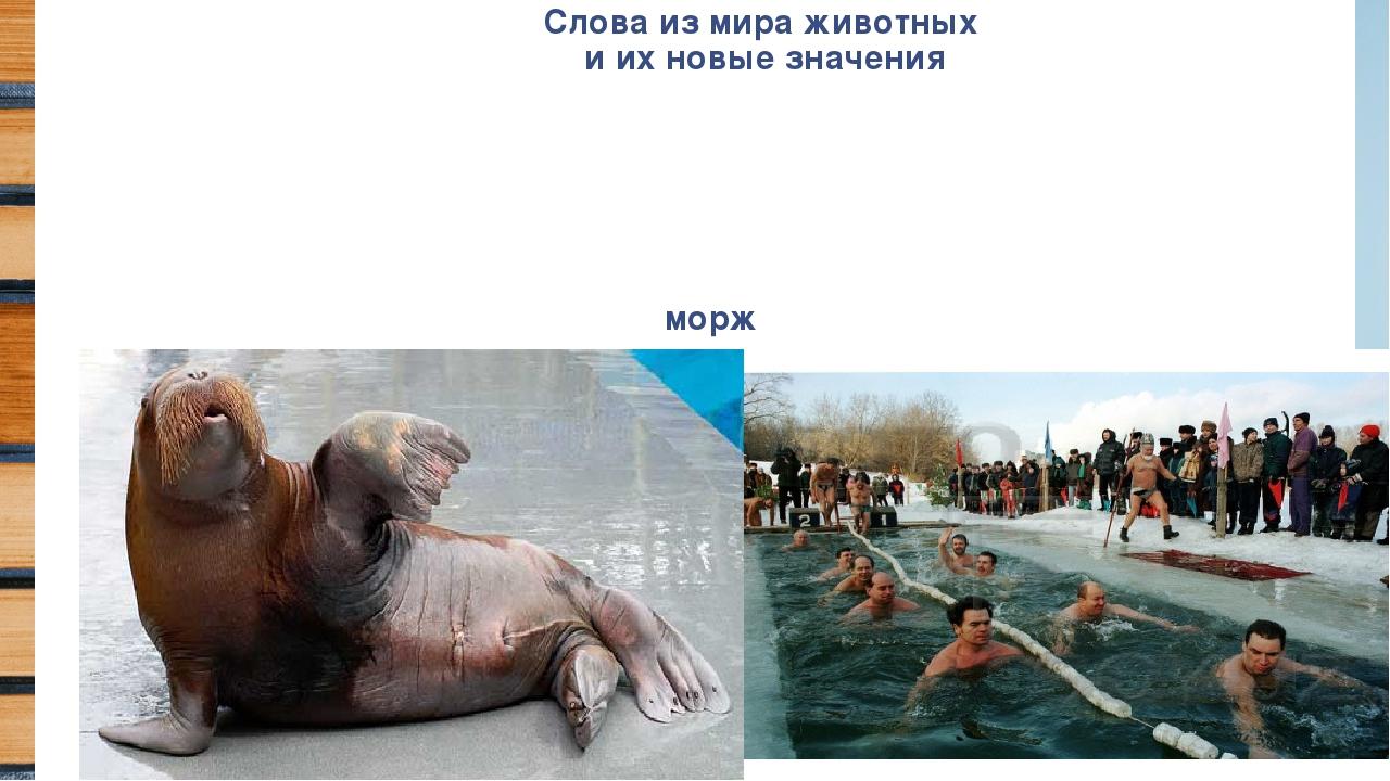 Слова из мира животных и их новые значения морж
