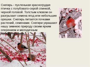 Снегирь - пухленькая красногрудая птичка с голубовато-серой спинкой, черной г