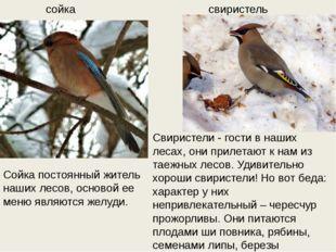 сойка свиристель Свиристели - гости в наших лесах, они прилетают к нам из тае